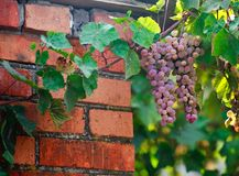 Grape. Sammer background leaf wine Stock Images
