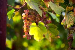 Grape. Sammer background leaf wine Royalty Free Stock Photography