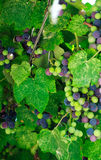 Grape. Sammer background leaf wine Royalty Free Stock Images
