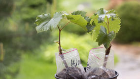 Grape seedlings with multiple sheets green. Grape seedlings with multiple sheets in a black container Stock Photography