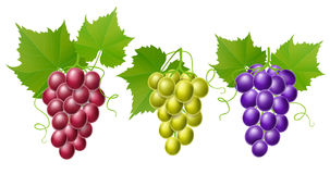 Grape set with leaves, isolated on white. Red, green and purple grape set with leaves and tendril. Realistic vector illustration for autumn harvest and fall Royalty Free Stock Photos