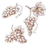 Grape set. Set of various grape. Hand drawn sketch of grape bunches  on white Stock Photography