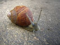 Grape snail Stock Photo