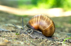 Grape snail Royalty Free Stock Images