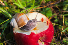 Grape snail Stock Image
