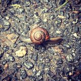 Grape snail with beautiful shell after the rain stock photo