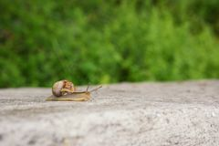 Grape snail crawling on the concrete royalty free stock photography
