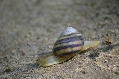 Grape snail crawling on the sand. Macro royalty free stock photo