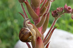 Grape snail. Crawling slowly on the plant stock photo