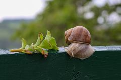 Grape snail crawling on a wooden board.  royalty free stock images