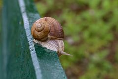 Grape snail crawling on a wooden board.  royalty free stock image