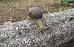 Grape snail. The snail crawls along the grave fence royalty free stock photos