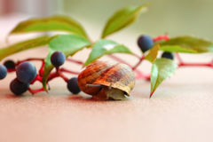 A Grape snail. Crawls out of lodge.against the background of branches of wild  grapes Royalty Free Stock Photo