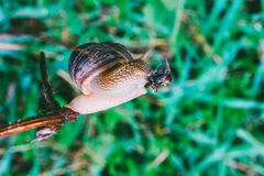 Snail eats a branch against a background of green grass. Grape snail eats a branch against a background of green grass Stock Images