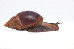 Grape snail fast movement forward Royalty Free Stock Photos