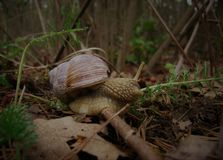 Grape snail, forest. Royalty Free Stock Photo