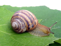 Grape snail on a grape leaf Royalty Free Stock Photos
