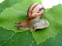 Grape snail on a grape leaf Stock Photos