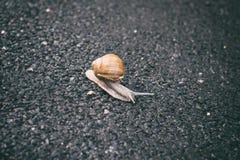 Grape snail helix pomatia gastropod mollusk on the asphalt road. Background stock photo