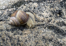 Grape snail. On the rock Royalty Free Stock Photo