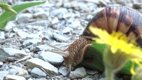 Grape snail with shell stock video