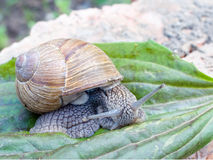 Grape snail slowly on the plant. Grape Snail crawling slowly on the plant Stock Photo