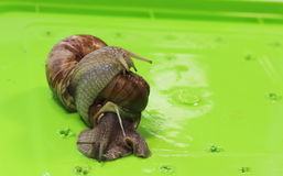 Grape snail Royalty Free Stock Photography