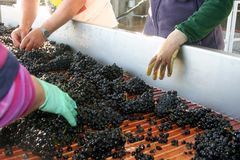 Grape Sorting Royalty Free Stock Photography