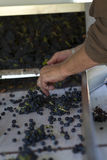 Grape Sorting. Hands sorting wine grapes and leaving only the perfect grapes Royalty Free Stock Photo