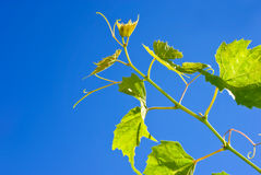 Free Grape Sprout Royalty Free Stock Photography - 16991787