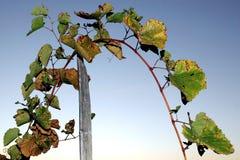 Grape stalks Royalty Free Stock Photography