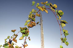 Grape stalks with sky Stock Images