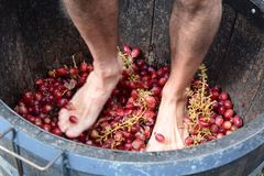 Grape stomping. Hunter Valley. New South Wales. Australia. Grape-stomping is part of method of maceration used in traditional winemaking. The Hunter Region, or Stock Photo