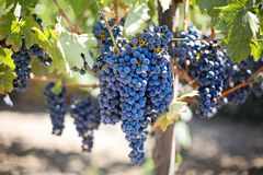 Grape on sunny vine Royalty Free Stock Photography
