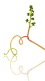 Grape tendril and cluster Royalty Free Stock Images