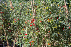 Grape tomato garden Royalty Free Stock Photography