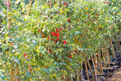 Grape tomato garden Stock Photography