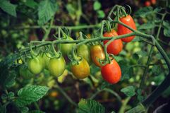 Grape Tomato Plant. Grape cherry tomatoes growing on a plant.  Some red, orange and green.  Taken at Old World Wisconsin in Eagle, WI Stock Images