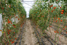 Grape tomato plantation Royalty Free Stock Photo