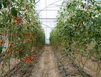 Grape tomato plantation Royalty Free Stock Photography
