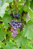 Grape Stock Photography