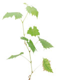 Grape tree. Isolated with a young grape tree Stock Photos
