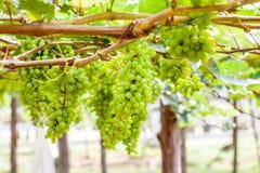 Grape tree in the garden Stock Photo