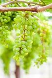 Grape tree in the garden Stock Image