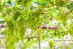 Grape tree in the garden Royalty Free Stock Photos