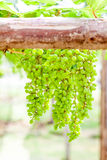 Grape tree in the garden Royalty Free Stock Image