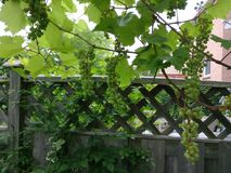 A grape tree stock images