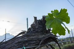 Grape tree pruning. Pruned and trimmed for growth to harvest. View on bare winter vineyard after pruning stock photography