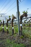 Grape tree pruning. Pruned and trimmed for growth to harvest. View on bare winter vineyard after pruning. Italy stock images