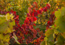 Grape Trees Abstract Royalty Free Stock Photo